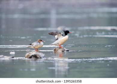 chinese merganser standing on stones of the lake, scaly-sided merganser, mergus squamatus