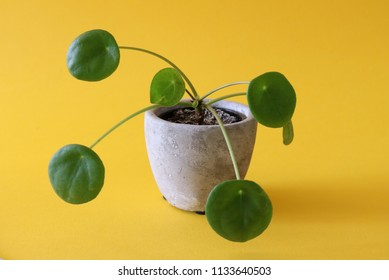 Chinese Money Plant, also called Pilea in a grey concrete planter standing isolated on a yellow background