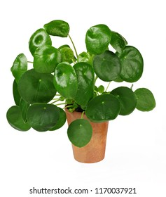 Chinese money plant or pancake plant, Pilea peperomioides, isolated over white background
