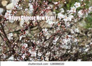 Chinese New Year background with white Cherry blossom