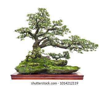 chinese old bonsai