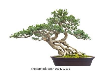 chinese old bonsai