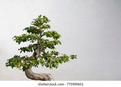 Chinese ornamental tree with a white background