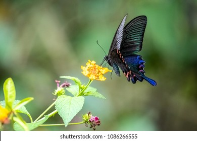 Chinese Peacock (Papilio bianor) eating on plant