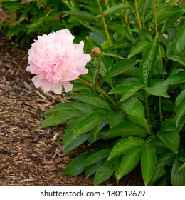 Chinese peony flower (Paeonia lactiflora)