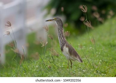 Chinese Pond Heron adult non-breeding in habitat.