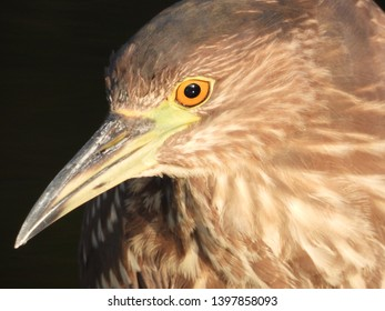 Chinese pond heron,like other wader,uses its keen eyesight to hunt.It was focusing on its prey and was perching still.I quietly drew close to it without disturbing it to capture this hunter's close up