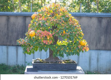 Chinese Quince bonsai tree with fruit in Omiya bonsai village at Saitama, Japan