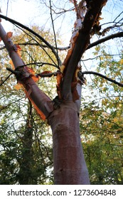 Chinese red barked birch tree 'Albo-sinensis Septentrionalis' growing in an arboretum in England. Chinese red barked birch tree 'Albo-sinensis Septrionalis' in a Victorian arboretum.