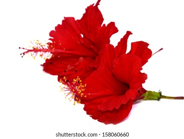 Chinese Red Hibiscus flowers