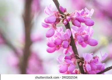 chinese redbud blooming in spring
