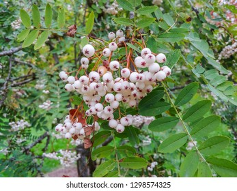 Chinese Rowan (Sorbus prattii) is deciduous shrub with clusters of tiny white flowers.  Copious amounts of white fruit in fall.  Long and narrow pinnate foliage with many small leaflets.