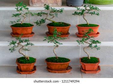 Sageretia Theezans Tree Images Stock Photos Vectors Shutterstock