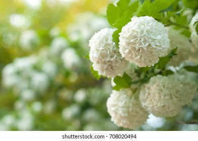 Snowball bush images stock photos vectors shutterstock chinese snowball viburnum flower heads are snowy blooming of beautiful white flowers in the summer mightylinksfo