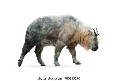 Chinese takin isolated over a white background