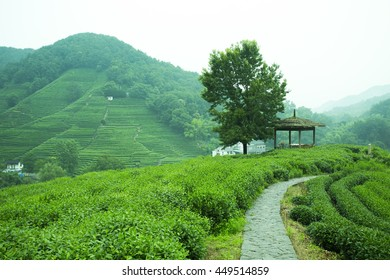 Chinese Tea mountain farmland at Hangzhou,famous for Longjing tea