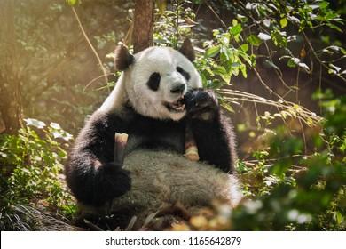 Chinese tourist symbol and attraction - giant panda bear eating bamboo. Chengdu, Sichuan, China