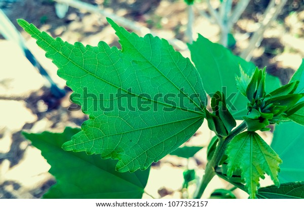 Chinese Tree Mallow Leaves Hibiscus Sinosyriacus Stock Photo