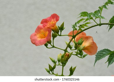 The Chinese trumpet creeper is a Bignoniaceae deciduous vine with beautiful orange flowers that bloom from summer to autumn and grow on trees and walls.