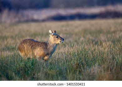 Chinese water deer standing still in a field of long grass looking around with its ears up.