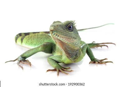 Chinese water dragon in front of white background