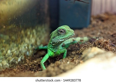 The Chinese water dragon (physignathus cocincinus), is a species of lizard native to China and Southeast Asia