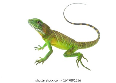 Chinese water dragon (Physignathus cocincinus) on a white background, isolate add clipping path. It is a large lizard. Fresh green body scales It is often found living near streams in Asian forests.