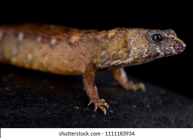 The Chinese water skink (Tropidophorus sinicus) is a semi-aquatic lizard species found in southern China,Hong Kong into Vietnam.