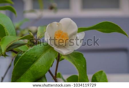 Chinese White Tea Yellow Flower Petals Stock Photo Edit Now