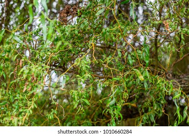 Chinese willow background. Curly branches and leaves of willow Salix matsudana. Selective focus
