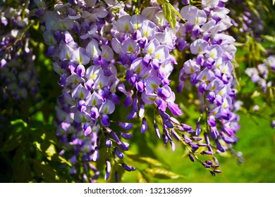 Chinese Wisteria - Wisteria blooming in summer garden .( Wisteria sinensis Sweet)