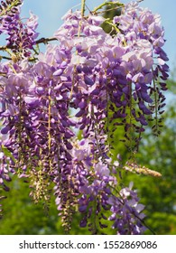 Chinese wisteria, branch with white violet flowers, close up. Wisteria sinensis Prolific tree, traditional cultivar with masses purple blossoms in hanging racemes. Classic Wisteria plant in pea family