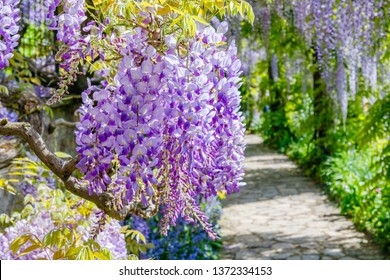 Chinese Wisteria and Japanese Wisteria Floribunda Macrobotrys bloom in garden