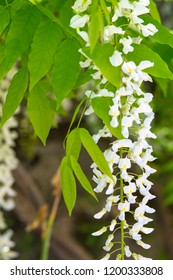 Chinese wisteria, ( Wisteria sinensis) or Wisteria sinensis 'Alba' racemes of pure white, pea like flowers with green leaves