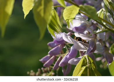 "Chinese wisteria ""Wisteria sinensis"" and a wasp"