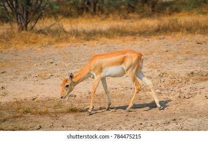 Chinkara or Indian gazelle in the forest.