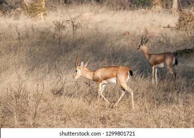 Chinkara or Indian gazelle in Ranthambore National Park in Rajasthan, India