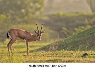 Chinkara Images, Stock Photos & Vectors | Shutterstock
