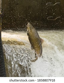 Chinook Salmon jumping at the fish ladder on the Bowmanville Creek.  The migrate upstream from Lake Ontario to spawn