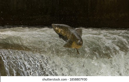 Chinook Salmon jumping at fish ladder on the Bowmanville Creek in Bowmanville Ontario