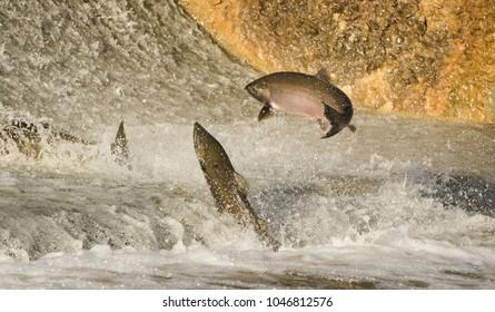 Chinook Salmon jumping at water fall