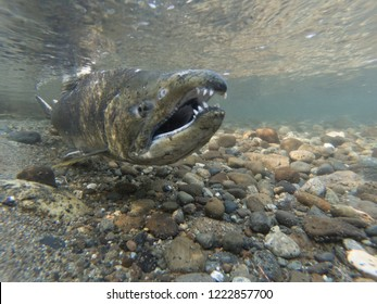 A Chinook Salmon On His Spawning Bed