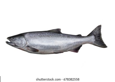 The Chinook salmon  (Oncorhynchus tshawytscha) is the largest species in the Pacific salmon genus Oncorhynchus. The scientific species name is based on the Russian common name chavycha