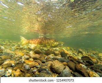 Chinook Salmon Spawning In The Cedar