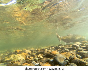 A Chinook Salmon Swimming On ASunny Fall Afternoon In The Cedar River