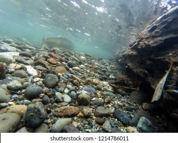 Chinook Salmon Swimming Upstream In The Cedar River