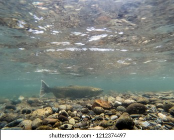 Chinook Salmon With A Tag  Moves Up The Cedar River