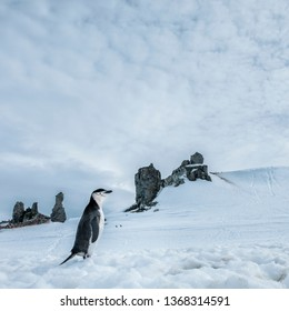 Chinstrap Penguin in the Antarctic Landscape