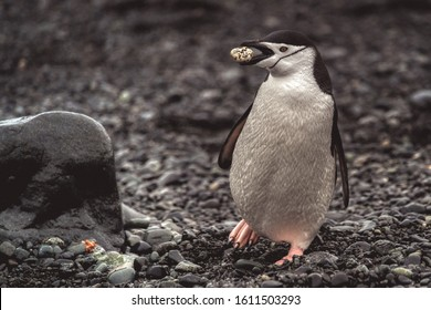 The chinstrap penguin carrying a rock to its nest, walking on the ground of Antarctica in breeding season