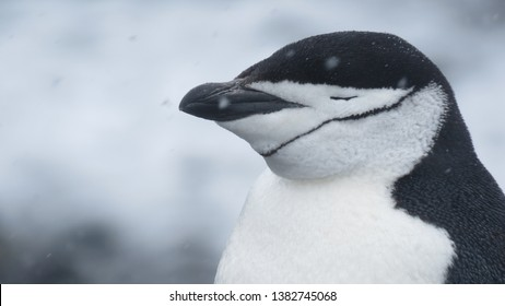 Chinstrap Penguin closed it's eyes